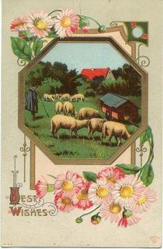 old sheep post card