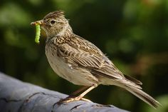 Skylark (Alauda arvensis) with a caterpillar in its beak.  ||  Alaudidae (lark) family  ||  by   Daniel Pettersson