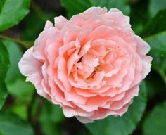 Rosa' l'aimant ' - Harkness