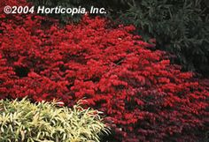 Euonymus alatus 'Compacta' Dwarf Burning Bush from Forrest Keeling Types Of Moss, Types Of Plants, Dwarf Burning Bush, Euonymus Alatus, Moss Terrarium, Terrarium Ideas, Terrarium Plants, Bushes And Shrubs, Wholesale Nursery