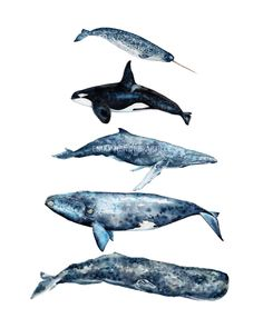 Watercolor Whale Chart / Sperm Whale Right Whale Humpback Whale Killer Whale Narwhal Whale / Watercolor Whales / Stacked Whales(Etsy のSweetClementinePrintより) https://www.etsy.com/jp/listing/399612665/watercolor-whale-chart-sperm-whale-right