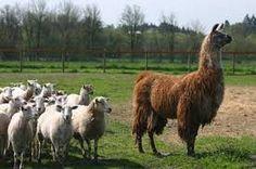 Guard llama, but for chickens. Farm Animals, Cute Animals, Grazing Animals, Future Farms, Unusual Animals, Small Farm, Farm Life, Farm House, Livestock