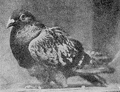 During the First World War a pigeon named Cher Ami (dear friend) saved the lives of many French soldiers by carrying a message across enemy lines in the heat of battle. Cher Ami was shot in the chest, blinded in one eye and shot in the leg, losing most of the leg to which the message was attached, but continued the 25-minute flight avoiding shrapnel and poison gas to get the message home. Cher Ami was awarded the French 'Croix de Guerre' medal for heroic service.
