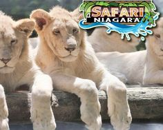 $19 for an All-Inclusive Animal Park Admission for One to Safari Niagara AND Receive a Bonus Package! It's the better deal! Safari Niagara, Learn A New Skill, Best Deals Online, Toronto, Workshop, Man Shop, Activities, Park, Animals