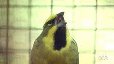 """""""O Grito do Bicho"""": Casal de cardeais amarelos pode salvar espécie de ..."""