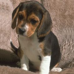(Beagle Rottweiler mix) Okay I am sold - never seen any puppy this adorable in my life