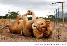 Funny lion / Funny Pictures, Funny Quotes – Photos, Quotes, Images, Pics on imgfave