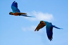 Flying parrots - Ara Ararauna - Blue and Yellow Macaw by Domdomfrommionnay, via Flickr