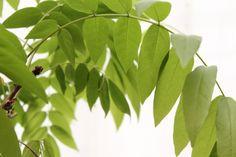 藤の葉っぱ