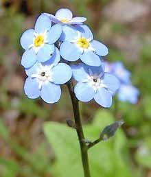 Alaska State Flower: Forget Me Not .. theflowerexpert.com