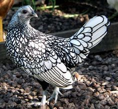 The Sebright Bantam.  A tiny little lady, but BEAUTIFUL!!!  Wonder if we can get them in the states?