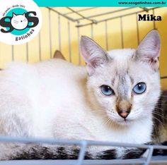 Oi titios e titias! Meu nome é Mika! Sou uma linda sialata de 6 meses. Sou super simpática e me dou muito bem com outros gatinhos. Mi adota? www.sosgatinhos.com.br sosgatinhos@gmail.com #sosgatinhos.SP #instacats #cat #kitten #kitty #cat #catlover #catsofinstagram #gato #adote #adotaretudodebom #naocompreadote #adoteumgato #adocaosp #gatinho