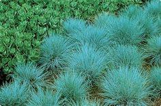 Jardim da Terra: COMO CULTIVAR: Grama azul - Festuca Glauca