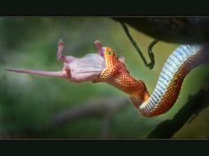 Bushviper (Atheris squamigera) having its meal.
