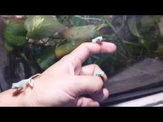 Crías de rana ojos rojos (Agalychnis callidryas) - YouTube