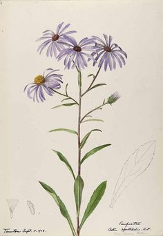 206527 Aster spectabilis / Sharp, Helen, Water-color sketches of American plants, especially New England, (1904) [Helen Sharp]