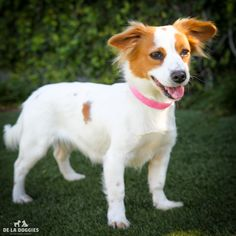 86 Best Jack Russell Dogsmixes Images On Pinterest Dog Mixes