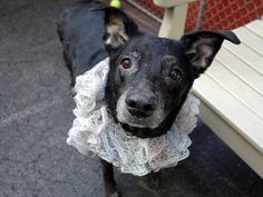 ~~REGAL 8 YR OLD SENIOR GAL TO BE DESTROYED - 7/31/14~~ Manhattan Center -P  My name is PRECIOUS. My Animal ID # is A1007800. I am a female black labrador retr mix. The shelter thinks I am about 8 YEARS old.  I came in the shelter as a STRAY on 07/23/2014 from NY 10453, owner surrender reason stated was STRAY.