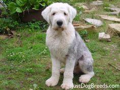 Short hair Old English Sheepdog