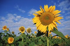 We Can Learn from the Sunflower - Mirror Ministries & Daphne Delay