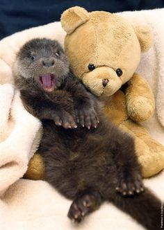 Cute Otter Baby with his Cuddly Toy Teddy Bear Surrogate Mummy Baby Otters, Baby Animals, Funny Animals, Cute Animals, Animal Memes, Wild Animals, Otters Funny, Smiling Animals, Animal Captions