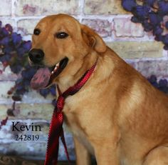 01/07/16--Looks like Kevin was an owner surrender, no reason given but they said he is H/B and obedient. He seemed calm and sweet, 2 yo, 63 lbs and they had him as an outside dog. I hope he gets a family that will let him be inside with the family where he should be. INQUIRIES: Visit the Montgomery County Animal Shelter, Hwy 242 Conroe, Texas or EMAIL mcas_online_team@hotmail.com with ID