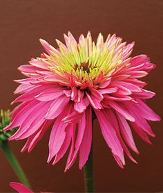double flower - gorgeous!    Echinacea, Pomegranate PPAF