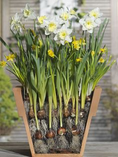 Buy bulb lasagne collection for pots Bulbs for pots - Creams and yellows - Buy 1 collection for or 2 for + get 20 Crocus bulbs FREE: 1 collection: Delivery by Crocus Planting Bulbs In Spring, Garden Bulbs, Spring Plants, Home Garden Plants, Garden Pots, Planting Flowers, Fruit Garden, House Plants, Bulb Flowers