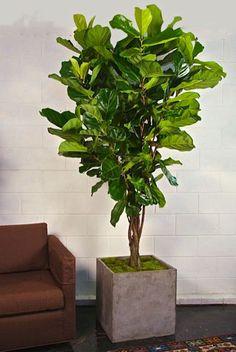 Houston's online indoor plant & pot store - 8' Ficus Lyrata, Fiddle feaf fig
