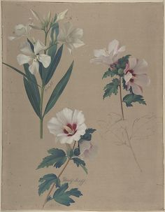 Adolf Senff (German, 1785–1863). Study of Hibiscus Plants, 1828. The Metropolitan Museum of Art, New York. Harry G. Sperling Fund, 2007 (2007.273)