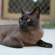 Burmese cats for rescue
