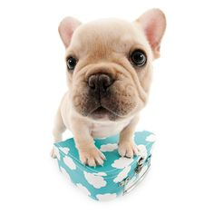 Artlist Collection THE DOG (French Bulldog Puppy)