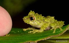 Spiny tropical frog is smaller than a finger tip  credit: Andreas Kay