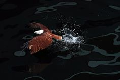 Jan. 15, 2013. A Brahminy kite, locally know as Lawin, swoops down on a prey in the sea inside an enclosure of Ocean park along Manila Bay, Philippines.    Read more: http://lightbox.time.com/2013/01/18/pictures-of-the-week-january-11-january-18/#ixzz2JTCtnIcz