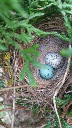 Crow bird egg in blue bird nest Bird Feeders, Bird Nests, Crow Bird, Spring Birds, Bird Watching, Blue Bird, Eggs, Watercolor, Crows