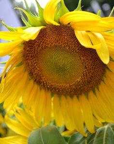 Sunflower, Farmers Market, Hilton Head
