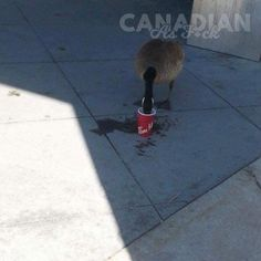 Canadian Memes, Oh The Irony, Animal Memes, What Is Like, Funny Pictures, Make It Yourself, Canada, Cats, Fanny Pics