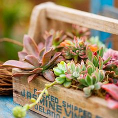 Bring smaller succulents, such as these hens and chicks, closer to eye level in a portable container. This old wooden packing box is all the more charming when filled with these tiny delights. And the fact that you'll have to water sparingly should actually increase the lifespan of the box.