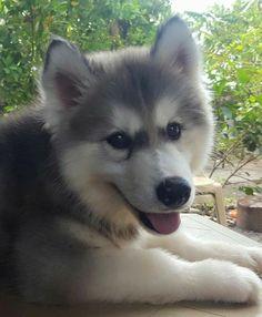 Alaska, Cute Dogs, Husky, Dog Cat, Puppies, Cats, Animals, Wolf, Siberian Cat