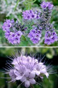 Flores ornamentales: Amiga de las abejas (Phacelia tanacetifolia)