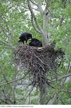 Common+Raven | Common Raven (Corvus corax) feeding its mate as it incubates eggs in ...