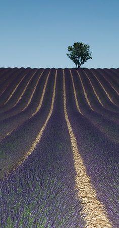 Lavender field | Flickr