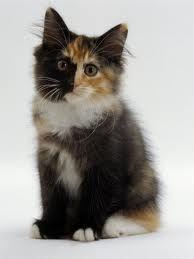 tortie kitten