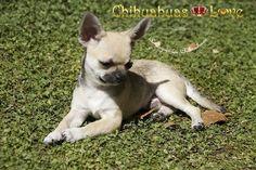 Chihuahuas Love - Por Qué Desparasitar a Un Chihuahua. Criaderos de Chihuahuas.