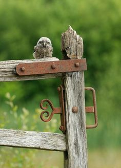 yes-iamredeemed:  Little owl chick on gate post ♥
