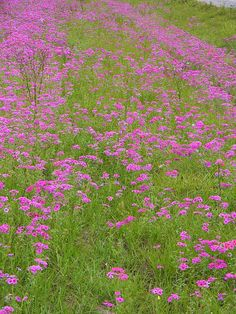 Roadside Pink along a country road near Citra Florida. Quality Prints available.