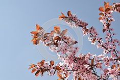 Picture of a branches in bloom with the sky as background