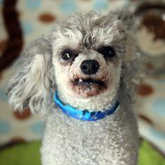 Buddy - SPCA of Texas (McKinney)