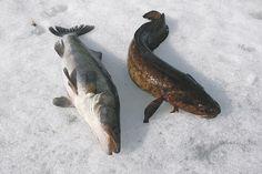 Pystyriimulla kuhaa ja madetta - Kivikangas Fish, Meat, Beef, Ichthys