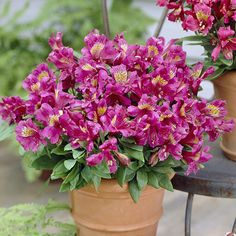 Alstroemeria - Floriferous Garden - Find your Horticultural Society and learn everything about Flowers and Gardening Container Flowers, Container Plants, Container Gardening, Flowers Name List, Canary Island Date Palm, Trachelospermum Jasminoides, Peruvian Lilies, Hardy Plants, Begonia